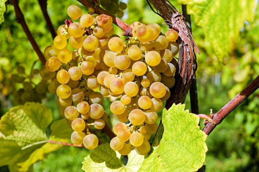 Uvas de la axarquía malagueña